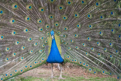 Peacock. Stock Images