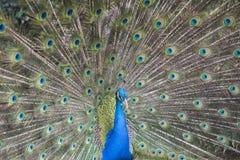 Peacock. Stock Photography