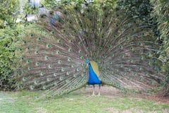 Peacock. Stock Photo