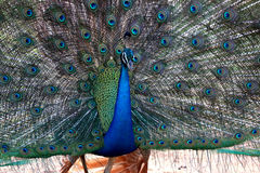 Peacock is opening its tail Royalty Free Stock Photo