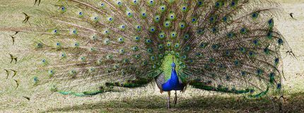 Peacock opening its tail Stock Photos