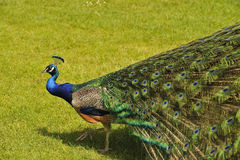 Peacock opening train of feathers. View of peacock moving and beginning to open its train of feathers Royalty Free Stock Images