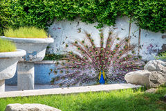 Peacock with outspread tail in park garden Stock Photography
