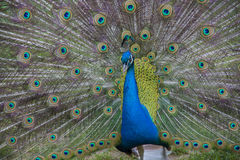 peacock Pássaro bonito Fotografia de Stock Royalty Free