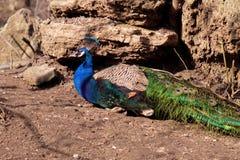 peacock Pássaros bonitos no parque da cidade em um dia ensolarado fotos de stock