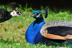 Peacock pair Stock Images