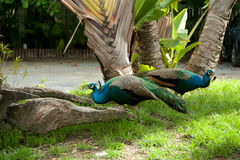 Peacock pair. Pair of peacocks roaming free in nature Royalty Free Stock Image