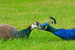 Peacock pair. Pair of peacock kissing on the grass Stock Image