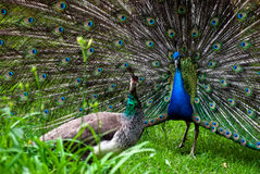 Peacock pair (Pavo cristatus) Royalty Free Stock Photography