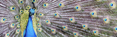 Peacock Panarama Stock Images