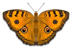 Peacock Pansy Butterfly Royalty Free Stock Photography