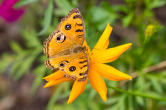 Peacock Pansy Butterfly. Royalty Free Stock Image