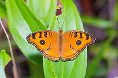 Peacock Pansy butterfly Stock Photos