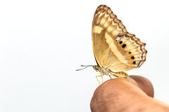 Peacock pansy butterfly on human finger Royalty Free Stock Photos