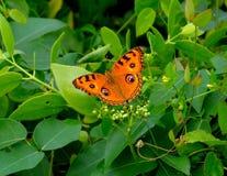 Peacock Pansy Butterfly Junonia Almana Royalty Free Stock Photo