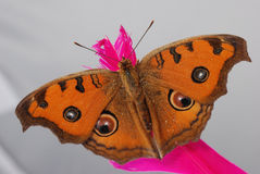 Peacock pansy butterfly macro Stock Photos