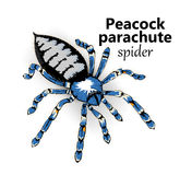 Peacock parachute spider Stock Photography