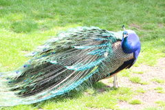 A Peacock. In a park Royalty Free Stock Image