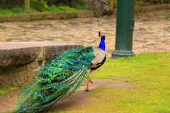 Peacock in the park Royalty Free Stock Images