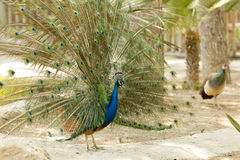 Peacock in a park. Of Guardamar del Segura, Spain Stock Images