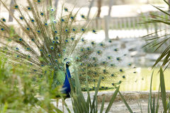 Peacock in a park. Of Guardamar del Segura, Spain Royalty Free Stock Image