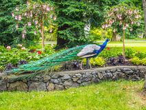 Peacock in the park. Wandering among the flowerbeds and lawns royalty free stock photography