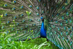 Peacock (Pavo cristatus) Stock Images