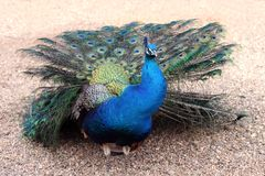 Peacock - Pavo Cristatus. Colorful peacock standing alone in the sand - Pavo Cristatus stock image