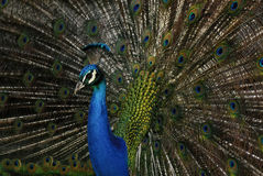 Peacock (Pavo cristatus) in Campo del Moro gardens, Madrid, Spain stock photos
