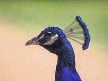 Peacock (Pavo cristatus) Royalty Free Stock Image
