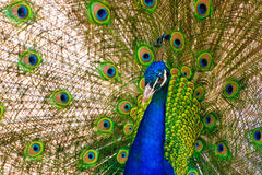 Peacock. Pavo cristatus peacock with colorful feathering Stock Image