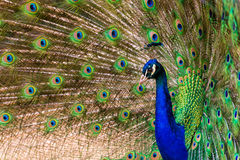 Peacock. Pavo cristatus peacock with colorful feathering Royalty Free Stock Photos