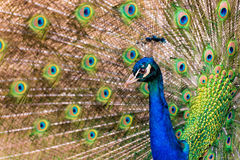 Peacock. Pavo cristatus peacock with colorful feathering Royalty Free Stock Photography