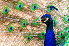 Peacock. Pavo cristatus peacock with colorful feathering Stock Photo