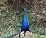 Peacock Pavo cristatus. Peacock with fanned out feathers stock photography