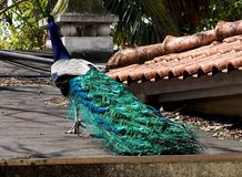 Male Peacock Or Pavo Cristatus. Peacock Or Pavo cristatus sitting on roof of building at Lisbon Zoo Lisbon Portugal stock images