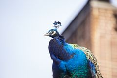 Peacock (Pavo cristatus). Spotted outdoors in USA stock photos