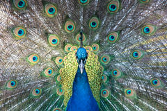Peacock (Pavo cristatus) Stock Photo