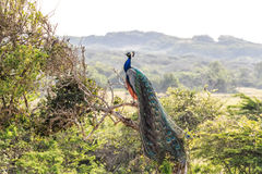 Peacock or Pavo cristatus Stock Photography