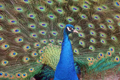 Peacock, Pavo, displaying feathers Stock Image
