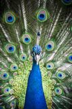 Peacock - Pavo muticus. Bright colorful peacock feathers background Royalty Free Stock Images