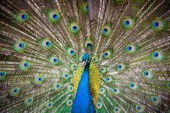 Peacock - Pavo muticus Royalty Free Stock Photos