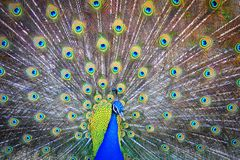 Peacock, Pavo Real, paó reial Stock Photos