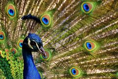 Peacock, Peacock Feathers, Colorful Royalty Free Stock Photography