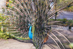 Peacock. S is a genus of large birds in the pheasant family Stock Images