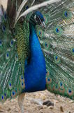 Peacock. Royalty Free Stock Photos