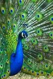Peacock peafowl Όμορφος που διαδίδεται ενός peacock όμορφο peac Στοκ Εικόνες