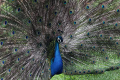 Peacock peafowl Royalty Free Stock Photos
