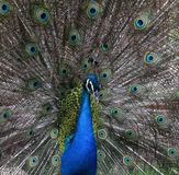 Peacock peafowl Royalty Free Stock Images