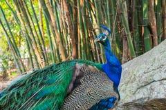 Peacock ή Peafowl Στοκ Εικόνα